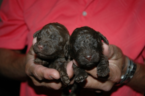 Izzy's pups at two weeks