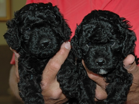 Piper's pups at five weeks